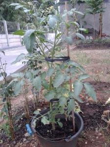 tomat dari biji cabai